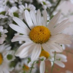 Daisy, Daisy…